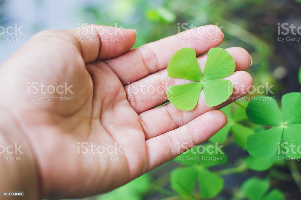 four leaf clover in hand.good luck leaf. stock photo