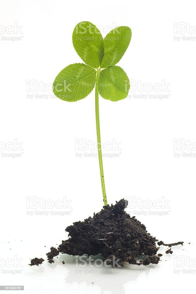 Four leaf clover in soil stock photo