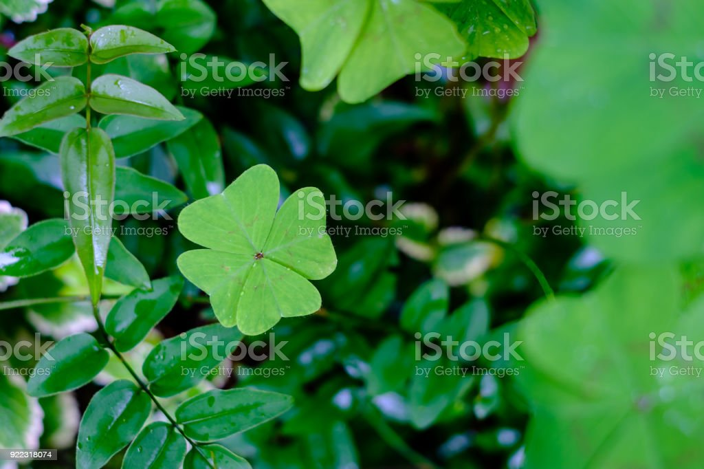 perfect four leaf clover in the garden surrounded by other leaves,...