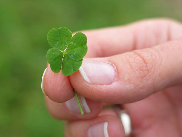 four leaf clover in woman hand stock photo