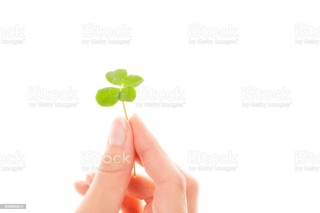 Four leaf clover. Lucky leaf. stock photo