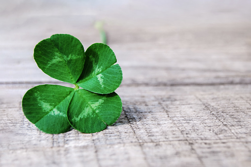 four leaf clover on gray background, real authentic green shamrock with four leaves on grey wood