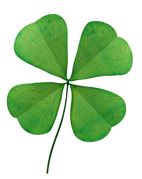 four leaf clover on white background - klavertje vier stockfoto's en -beelden