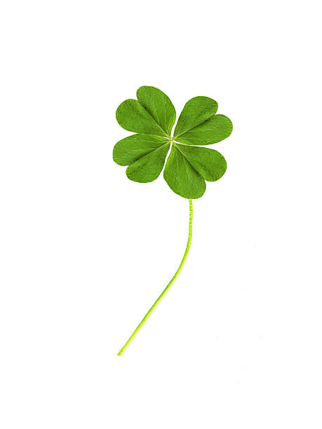 Four leaf clover picture id172181323?b=1&k=6&m=172181323&s=612x612&w=0&h=jvkch5a2hpsp2vp69y 7113qpiqfxk9fxc2odgvrngy=