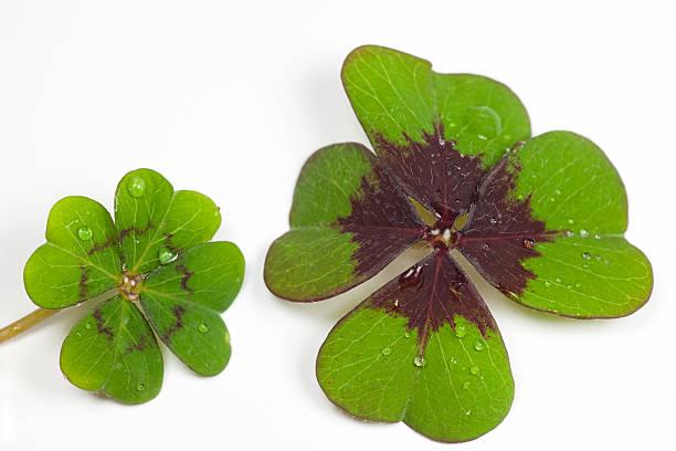 four leaf kleeblatt - gblu stock-fotos und bilder