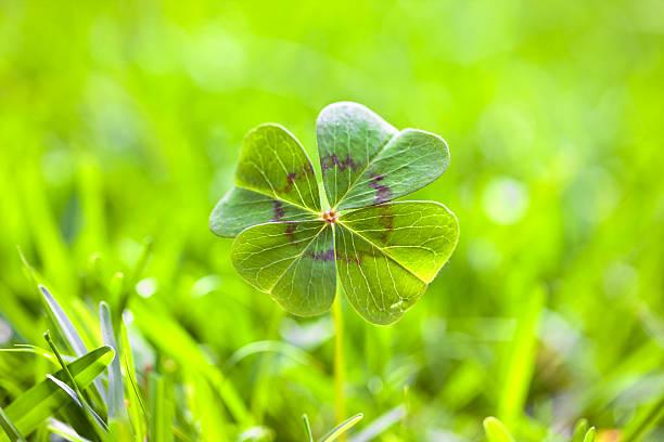 Four leaf clover picture id486957006?b=1&k=6&m=486957006&s=612x612&w=0&h=rxbnnrxpr7wm76u3u54nydpd4eqpsg9ss4ajmwiyuq8=