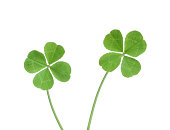 Four leaf clovers with clipping path