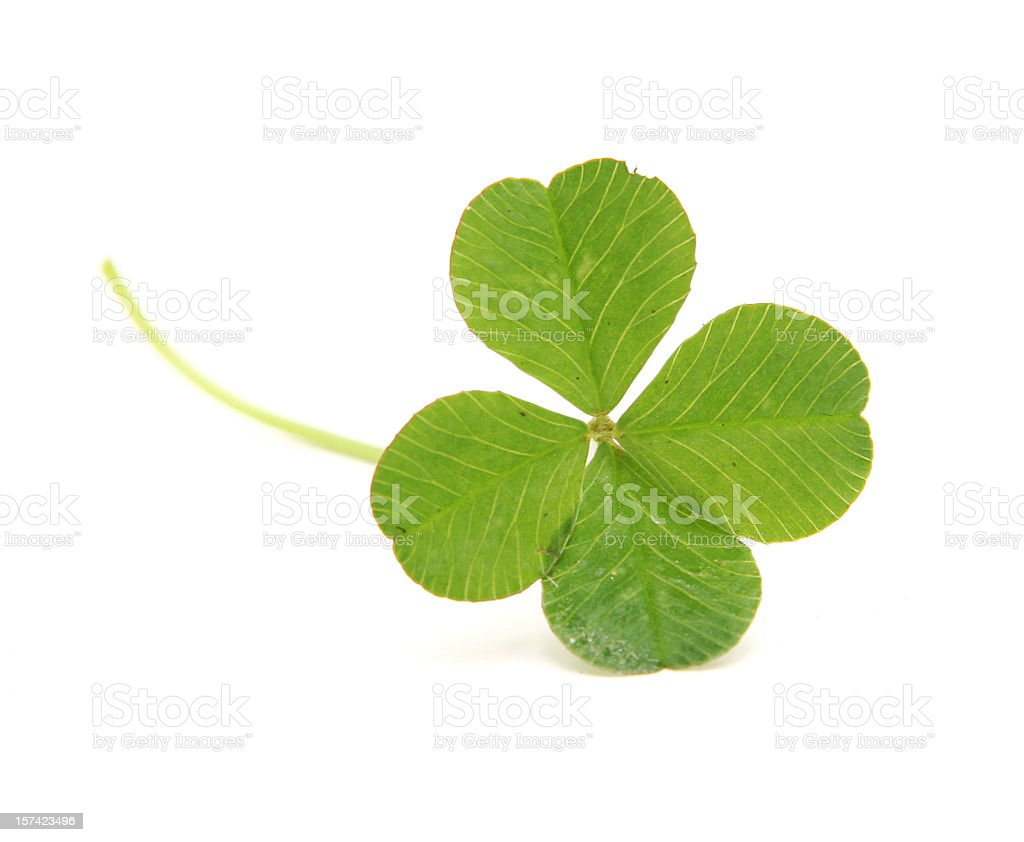 Four Leafed Clover Isolated on White stock photo