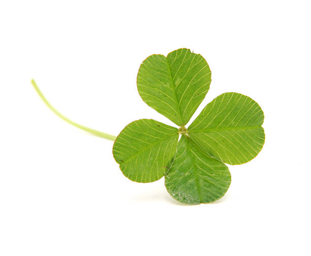 four leafed clover isolated on white - klavertje vier stockfoto's en -beelden