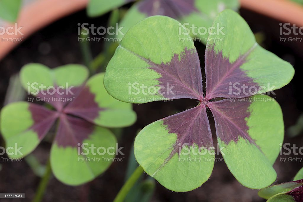 four leaved clover royalty-free stock photo