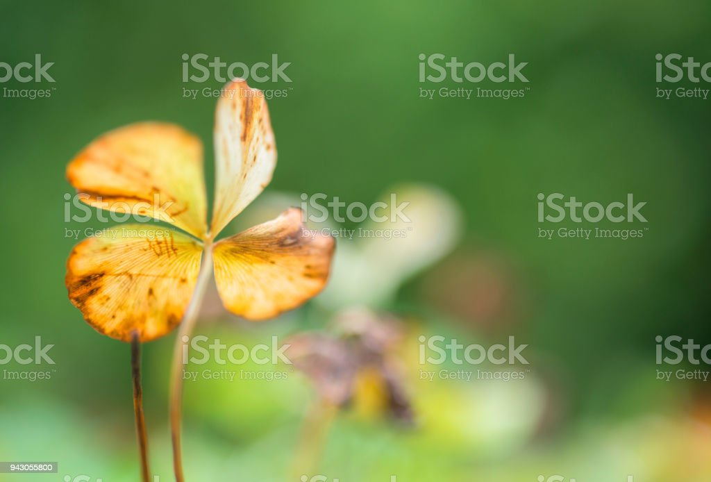 four leaved cloverleaf with copy space stock photo