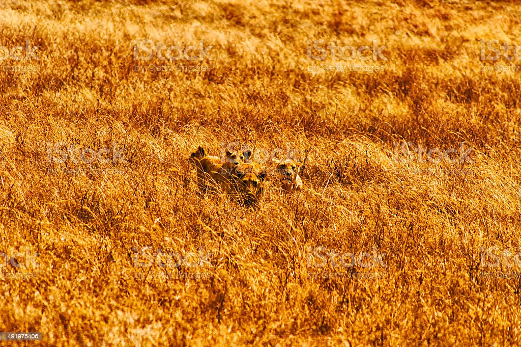 four lionesses stock photo