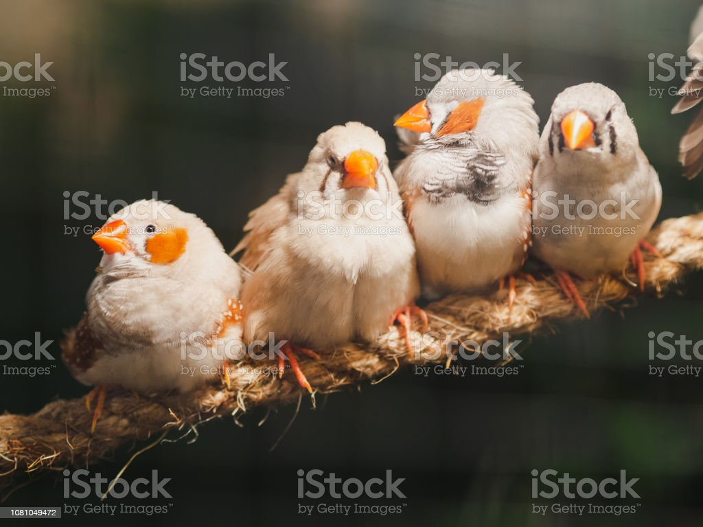 Four little birds sitting on the rope on bokeh background. Animal,...