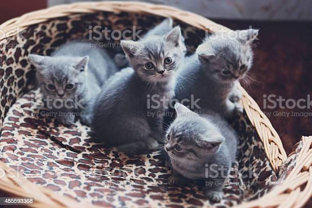 Four little british shorthair kittens in a basket picture id485593368?b=1&k=6&m=485593368&s=612x612&h=rrmezdsqrgpx5c s4amdisz0ga7294elszn0w6g76xs=