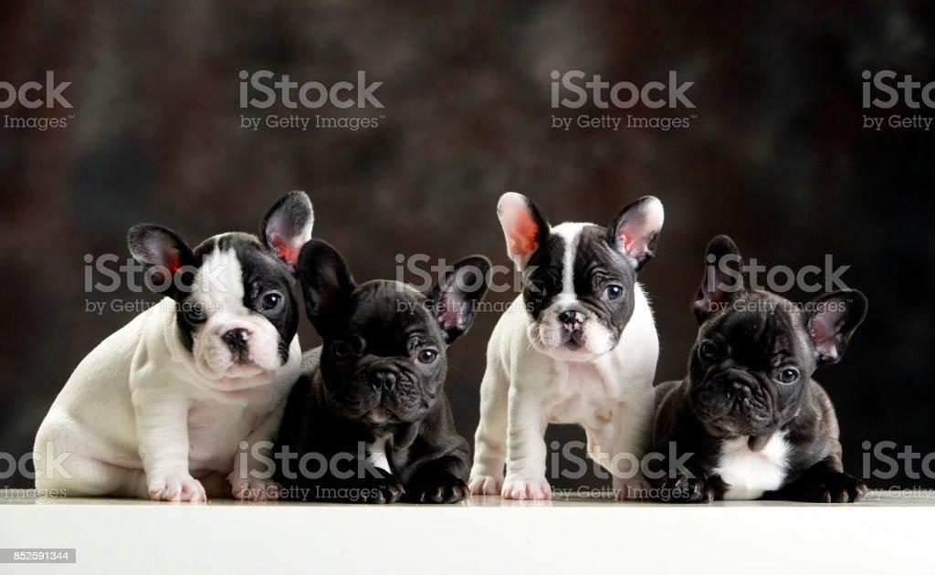 Cuatro cachorros de bulldog francés pequeño. Perros adorables. Estudio de disparo. Fondo oscuro. Formato horizontal. - foto de stock