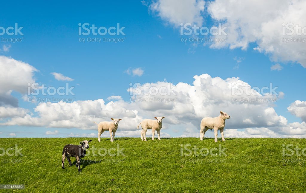 Four little lambs on top of the dike stock photo