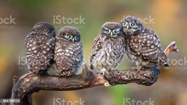 Four little owls sitting in pairs on a stick picture id954198104?b=1&k=6&m=954198104&s=612x612&h=4fdxvz7vpliuxt 7eqtuo80vyvqq1okazk7upt5qf8u=