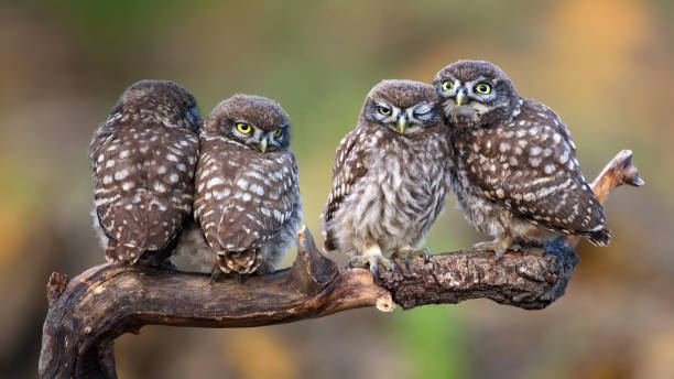 Four little owls sitting in pairs on a stick stock photo