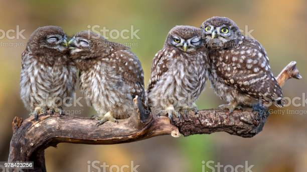 Four little owls sitting in pairs on a stick picture id978423256?b=1&k=6&m=978423256&s=612x612&h=wtiinsahfbx ig5bemjtuvg j7cj08xzvb aajtzvaa=