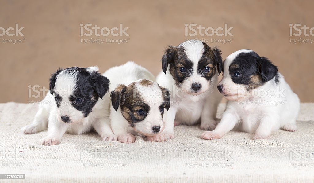 Four little Papillon puppy royalty-free stock photo