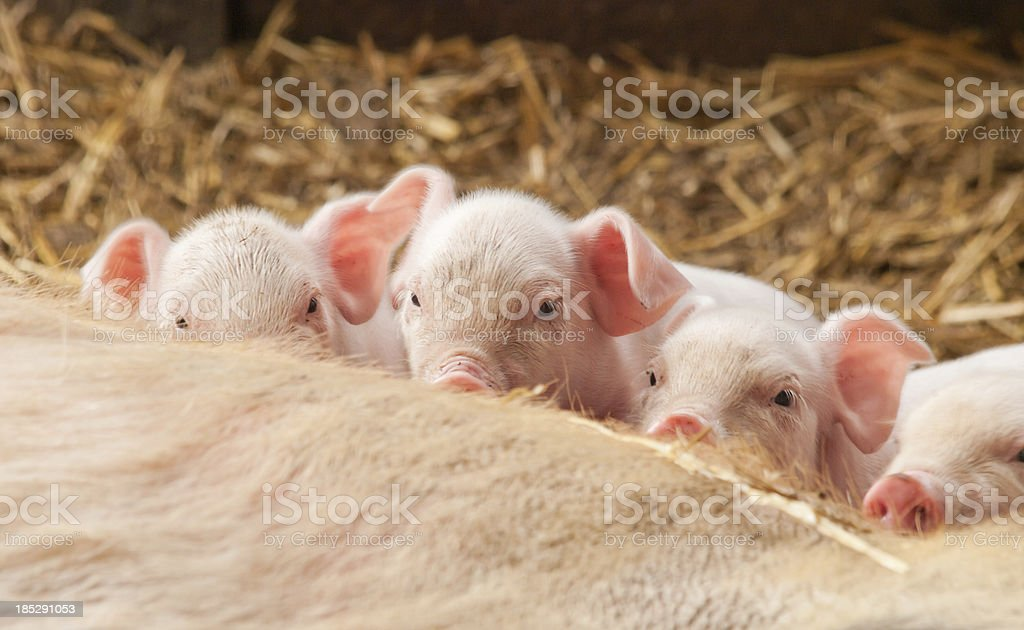 Four little pigs stock photo