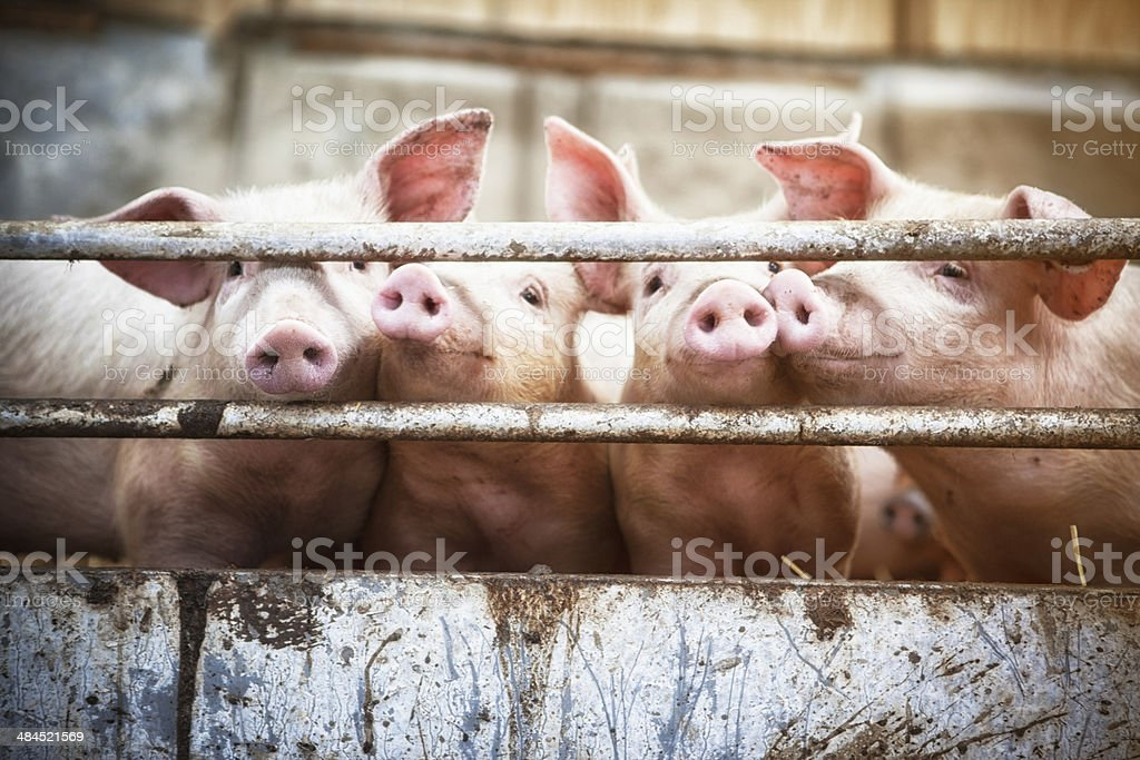 Four little pigs. royalty-free stock photo