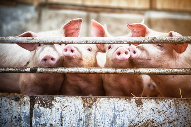 Four little pigs. Happy pigs living  on organic ecological farm in Denmark.. pork stock pictures, royalty-free photos & images