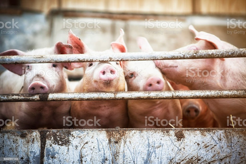 Four little pigs. stock photo