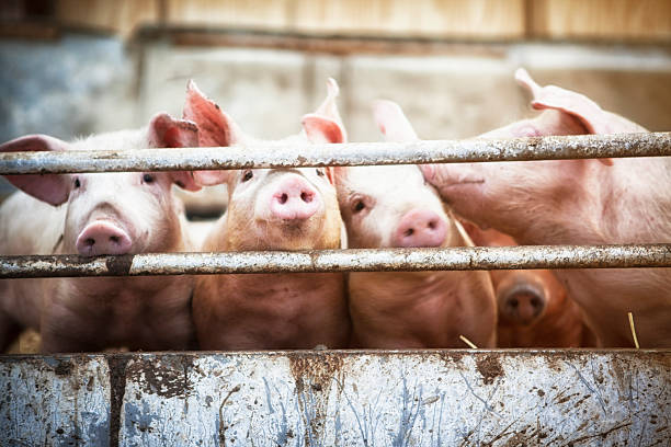 four little pigs. - pig farm stockfoto's en -beelden