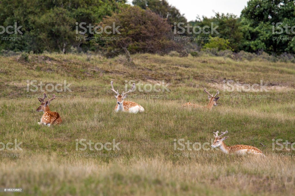 Four lying male fallow deer stock photo