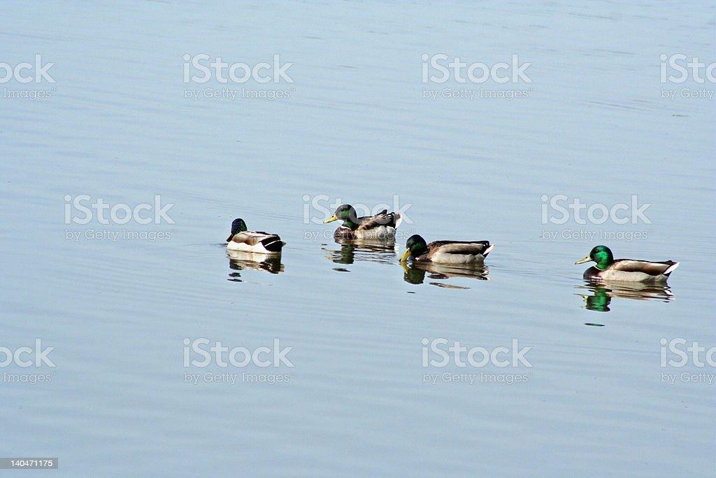 four mallards in a lake stock photo