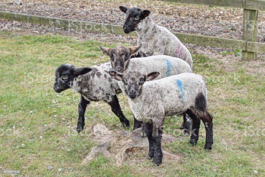 Four mule sheep lambs on a tree stump stock photo