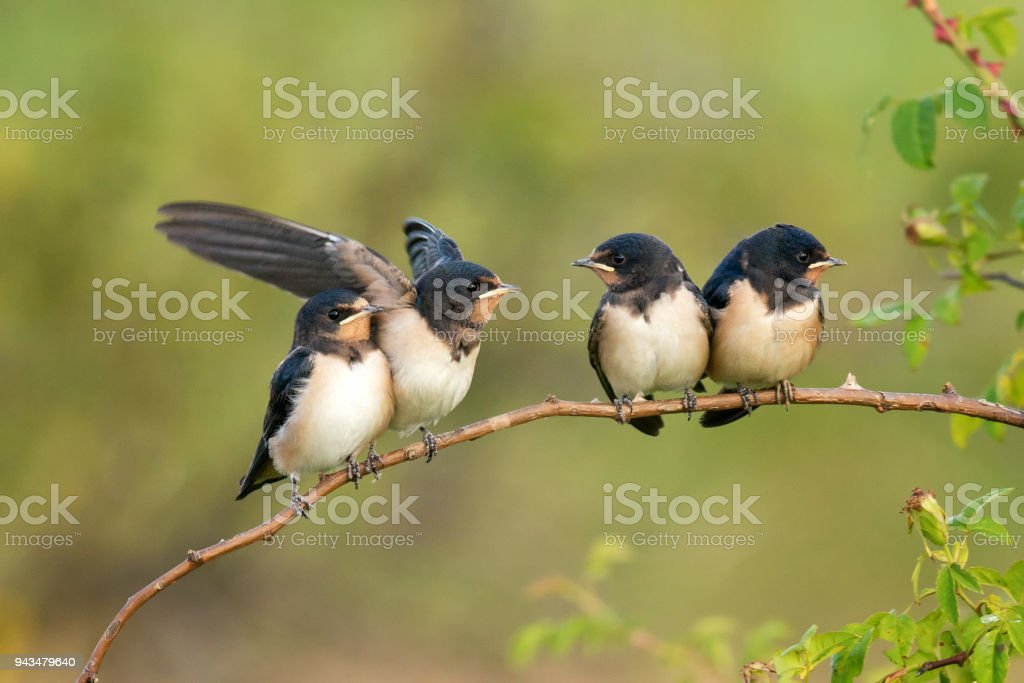 Four nestling barn swallows (Hirundo rustica) waiting for their parents. stock photo