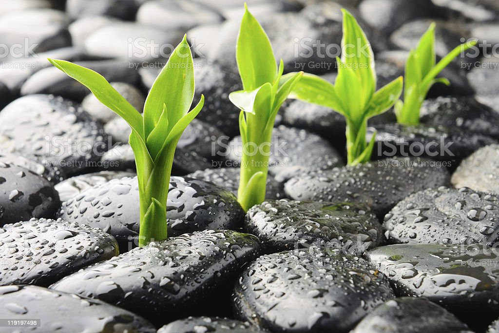 Four new green plants sprouting between the rocks royalty-free stock photo