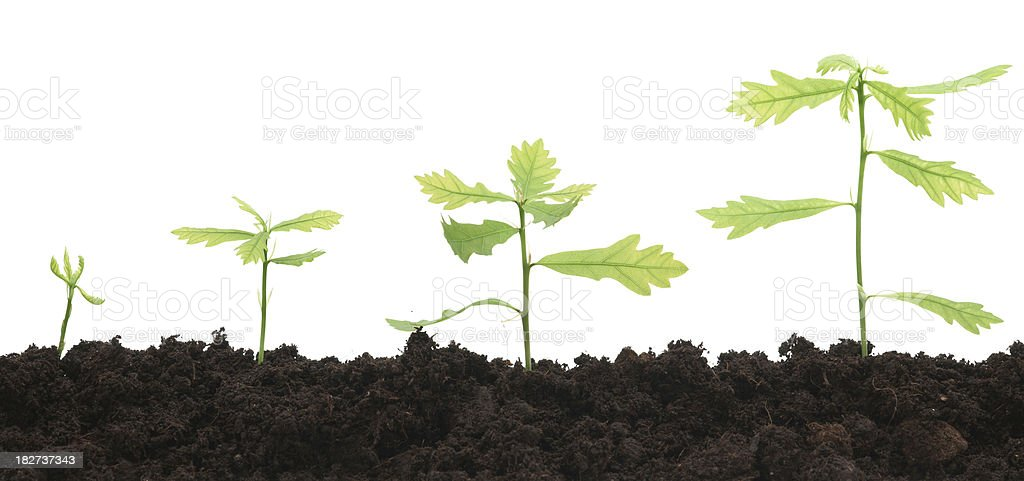 Four oak trees growing against white background royalty-free stock photo