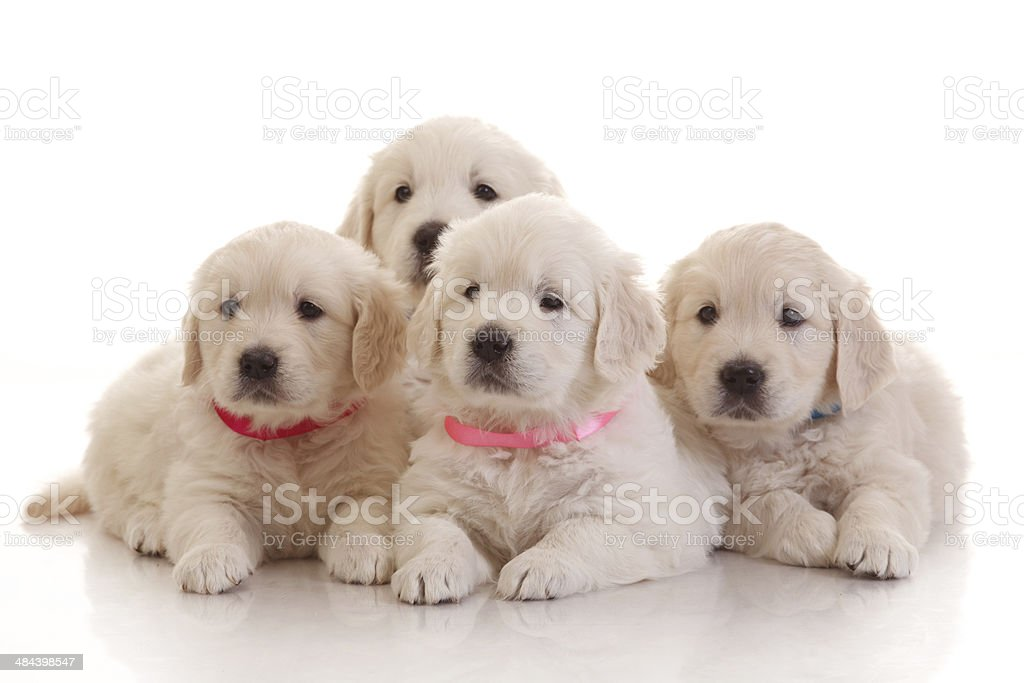 Four one month old puppies of golden retriever stock photo