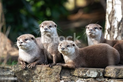 istock Four Oriental small-clawed otters 1141456840