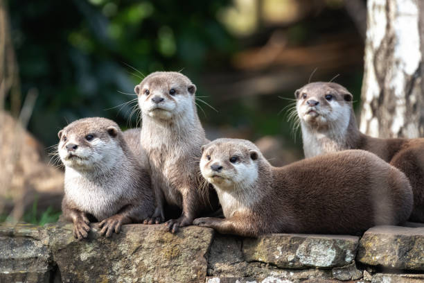 Four Oriental small-clawed otters Group of four attentive Oriental small-clawed otters animal family stock pictures, royalty-free photos & images