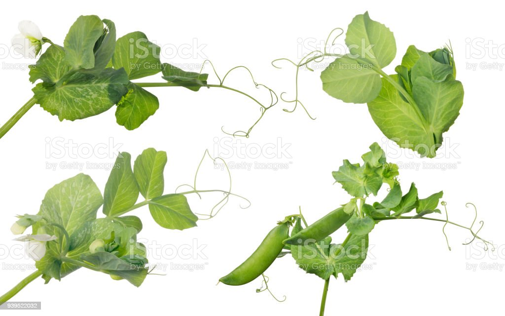 four pea stems with flower and pods stock photo