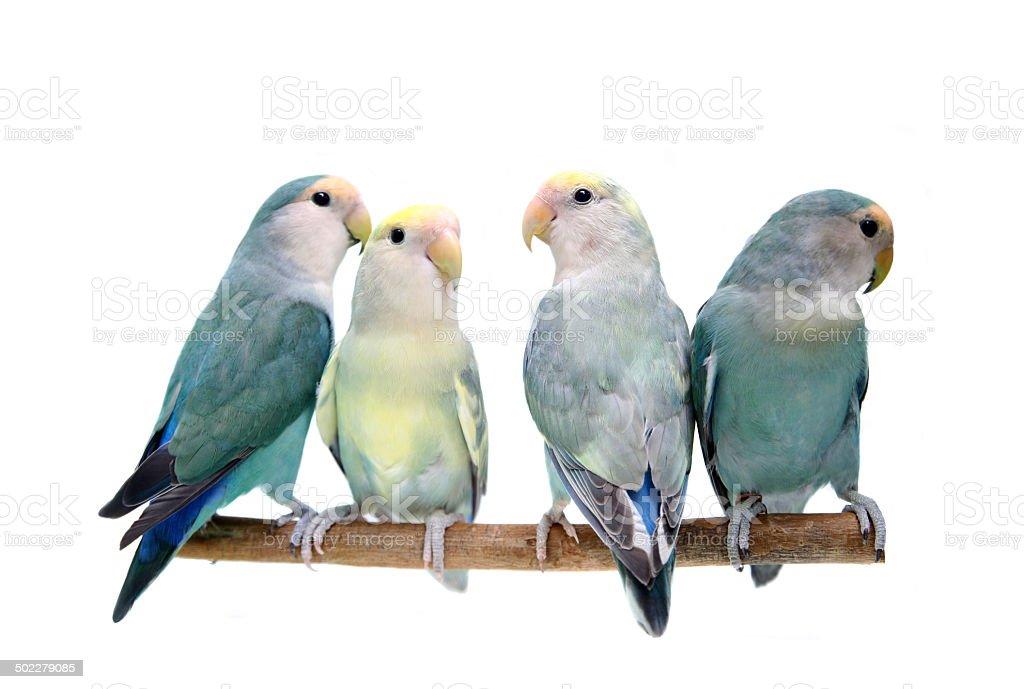 Four Peach-faced Lovebirds on white foto
