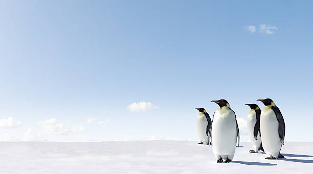 Four penguins standing tall on a snow-covered surface stock photo
