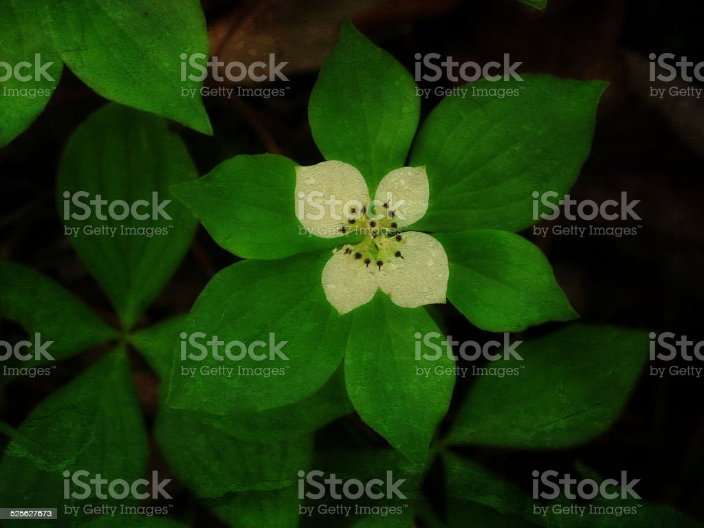 Four Petal White Flower Bunchberry Forest Ground Cover Stock Photo