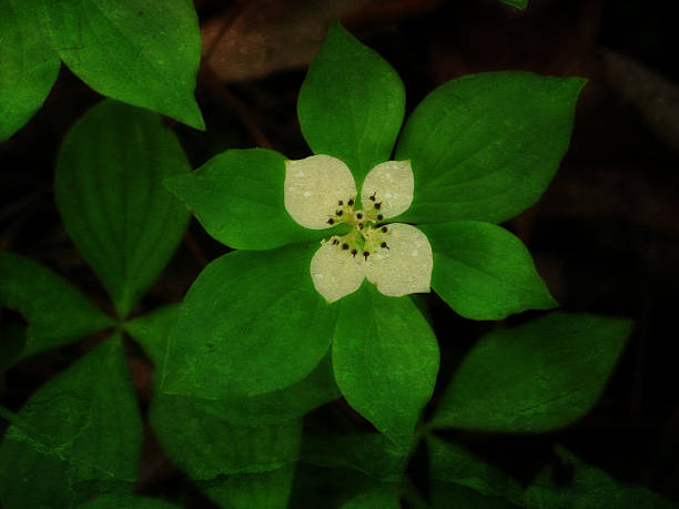 Four petal white flower bunchberry forest ground cover stock photo four petal white flower bunchberry forest ground cover stock photo istock mightylinksfo
