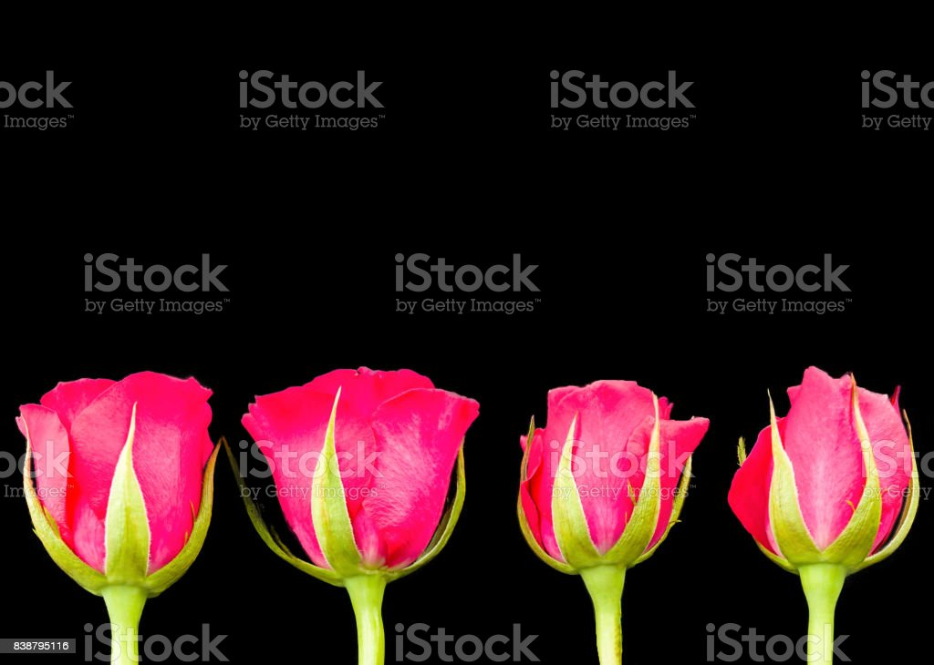 Four Pink Rose Heads On Black Back Ground Room for Text above Image stock photo
