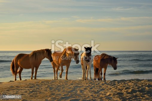 Three Assateague pony mares walking along the surf at the Assateague Island National Seashore beach staring at the camera hoping for a handout