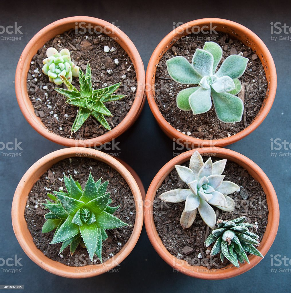 Four potted succulents in a square stock photo