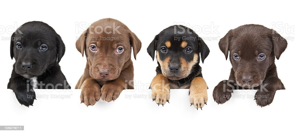 Four puppies above banner stock photo