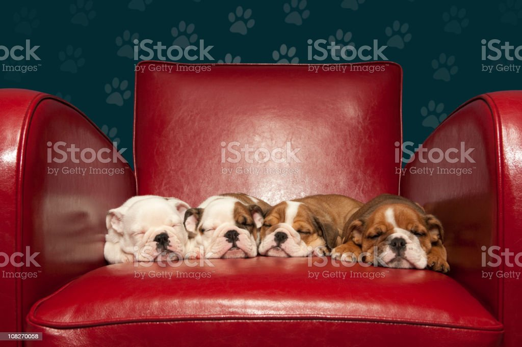 Four puppies asleep on red armchair stock photo