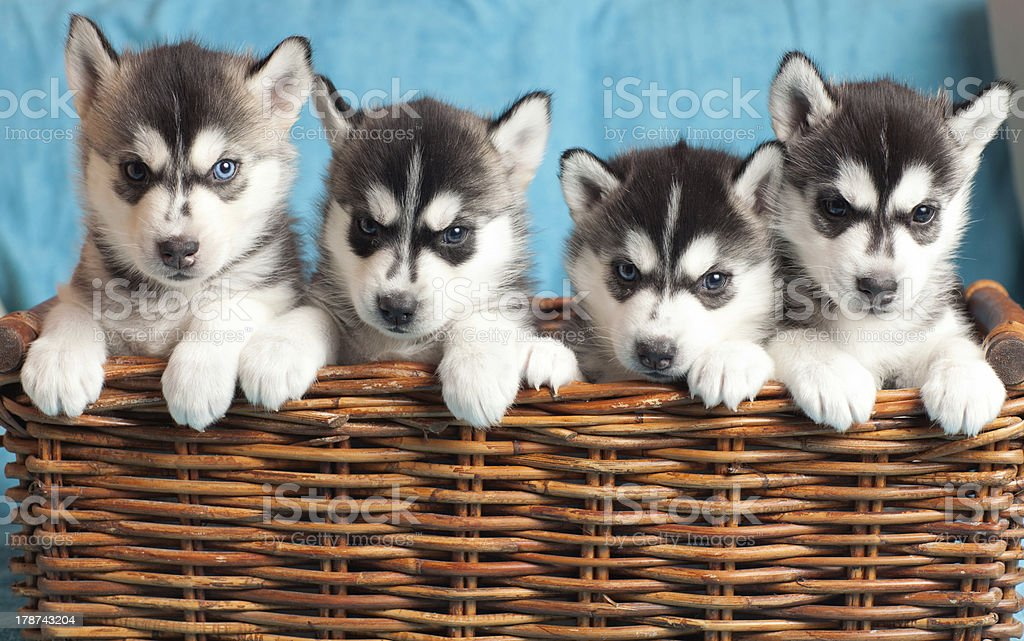 four puppies Husky stock photo