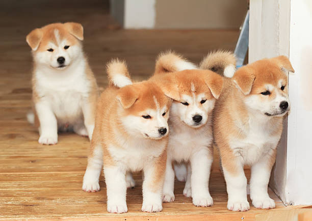 Four puppies of Japanese akita-inu breed dog stock photo